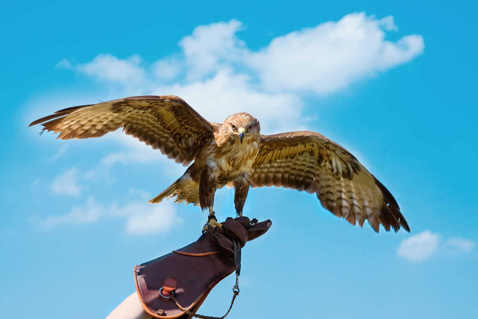 Hawks In Alabama