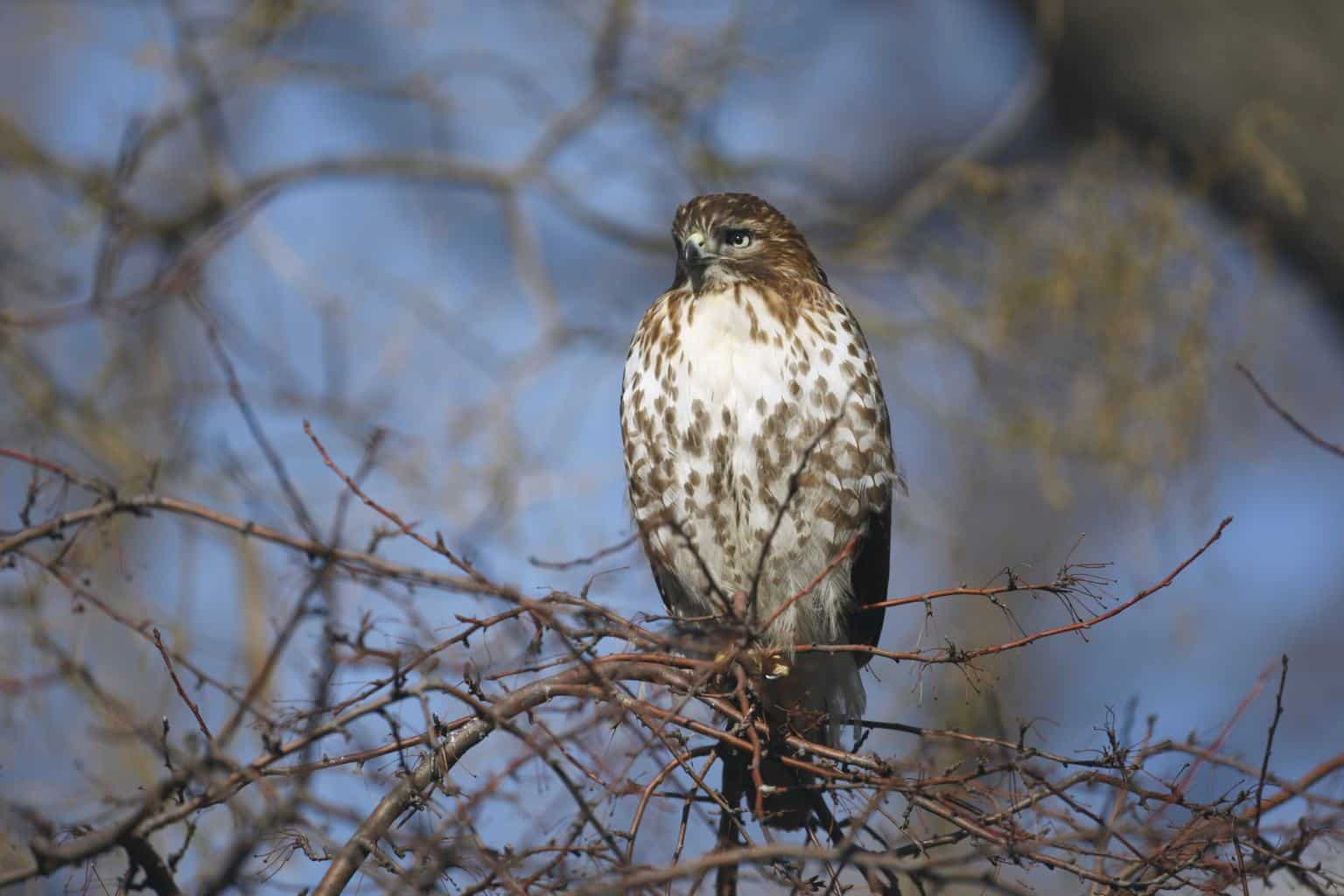 Hawks In Alaska