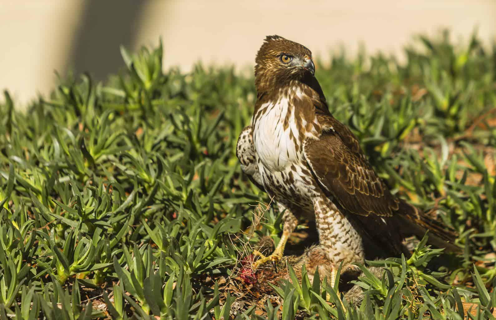 Hawks In Arizona