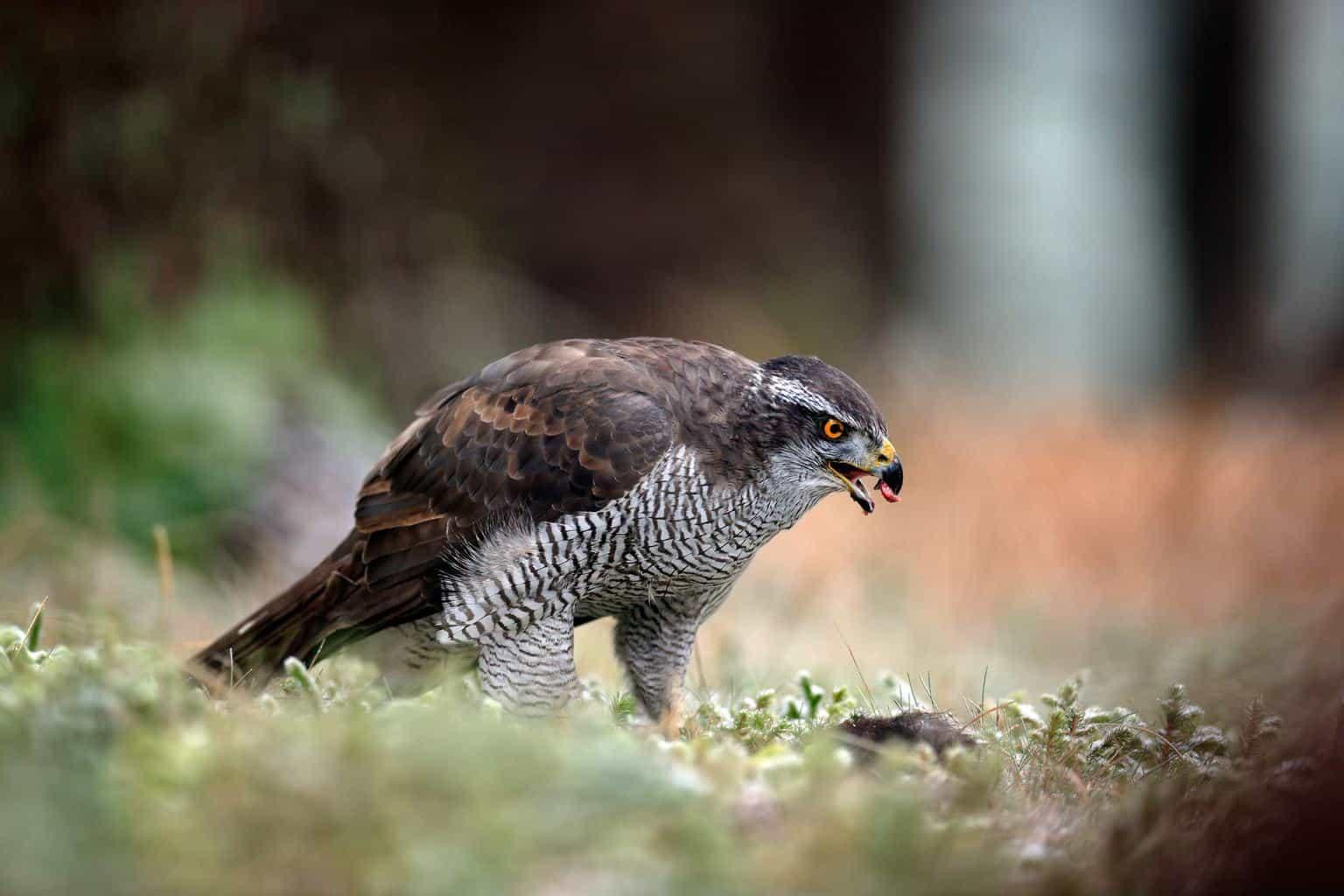 Hawks In Arkansas