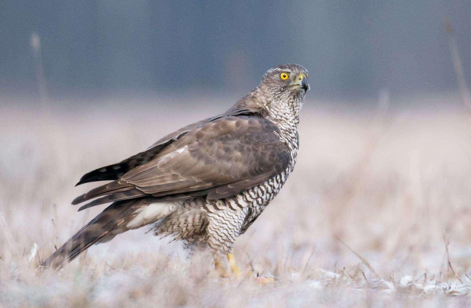 Hawks In California