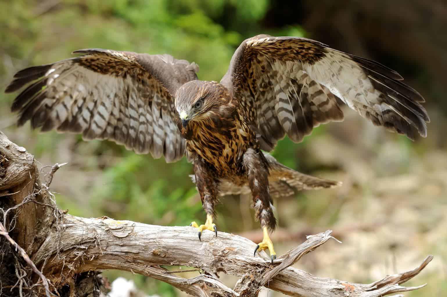 Hawks In Colorado
