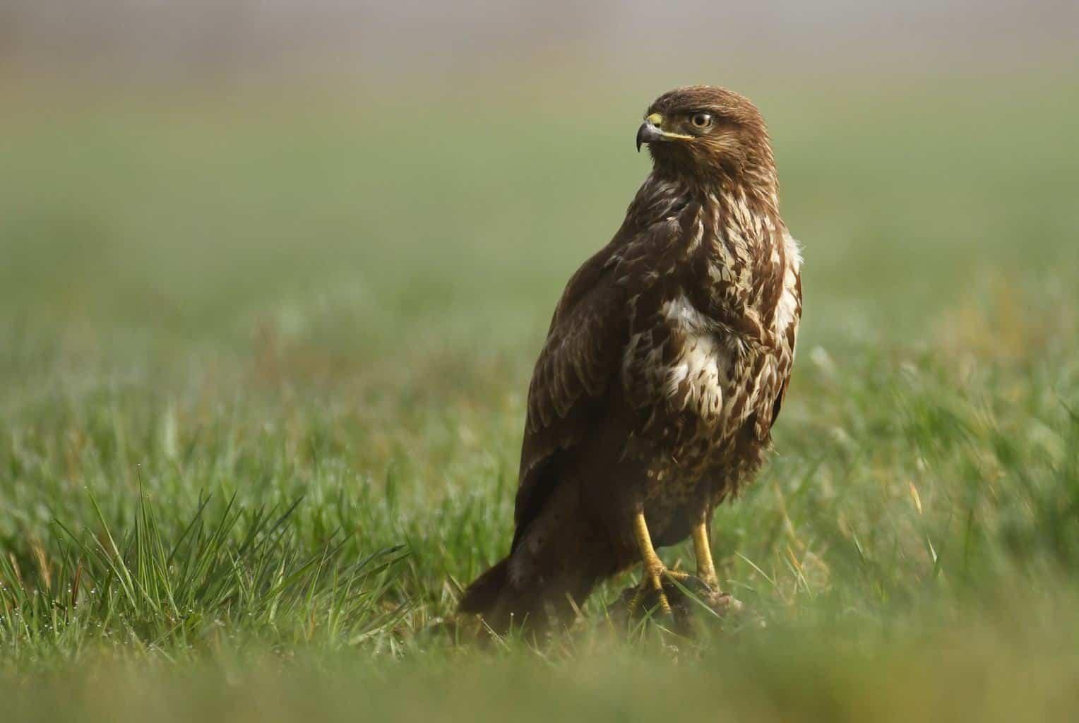 Hawks In Connecticut