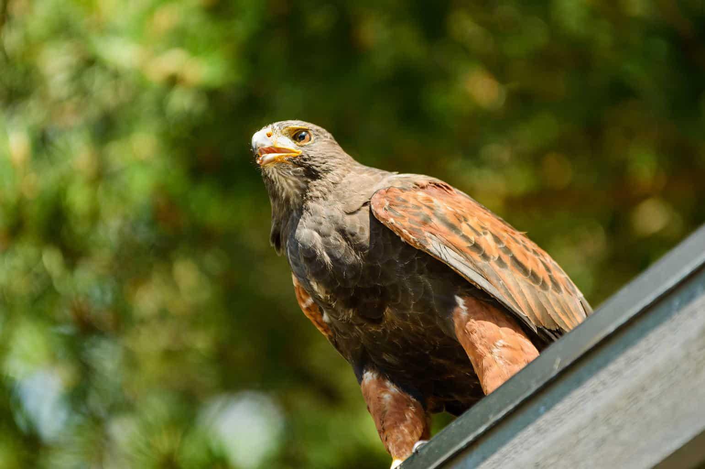 Hawks In Delaware