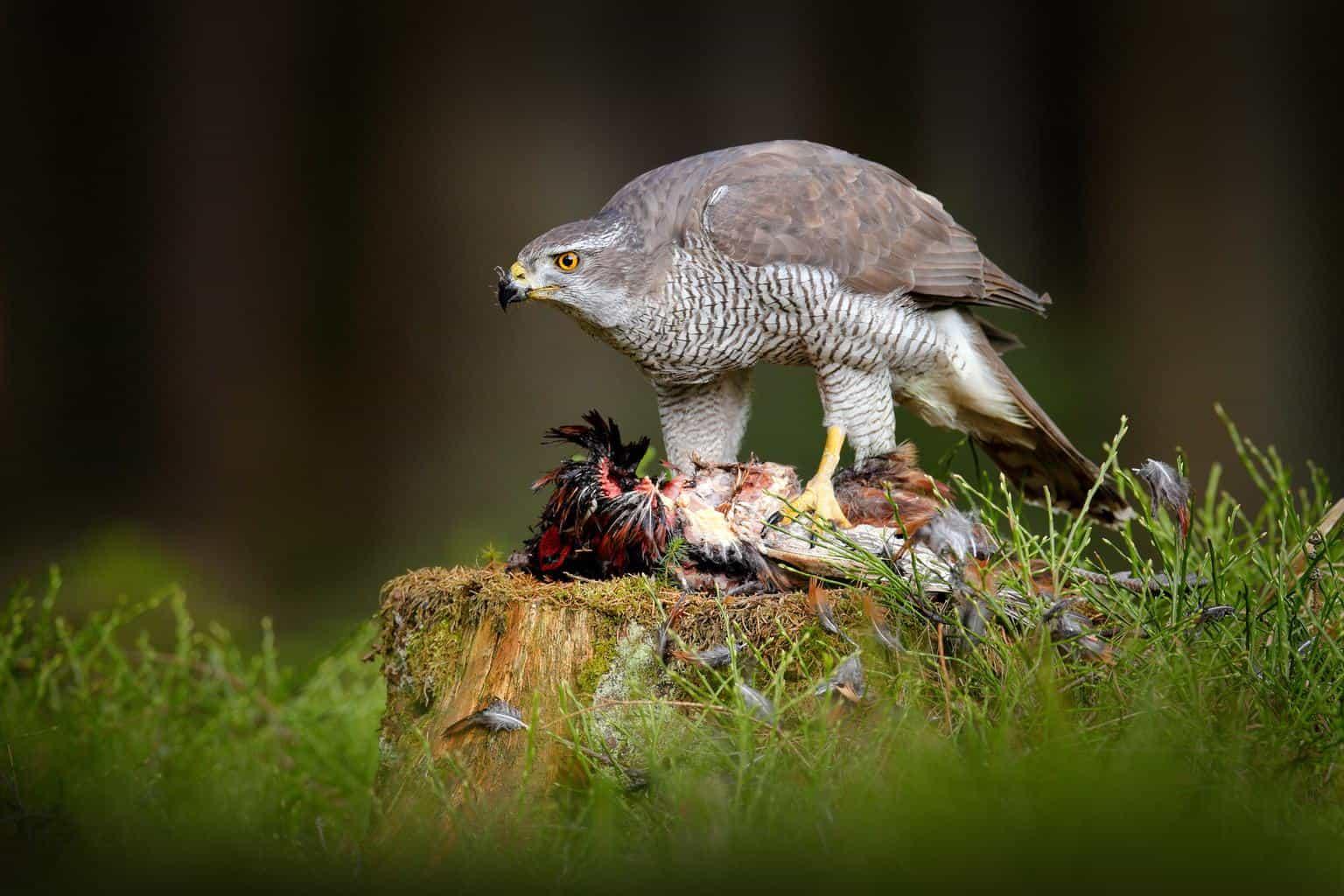 Hawks In Georgia