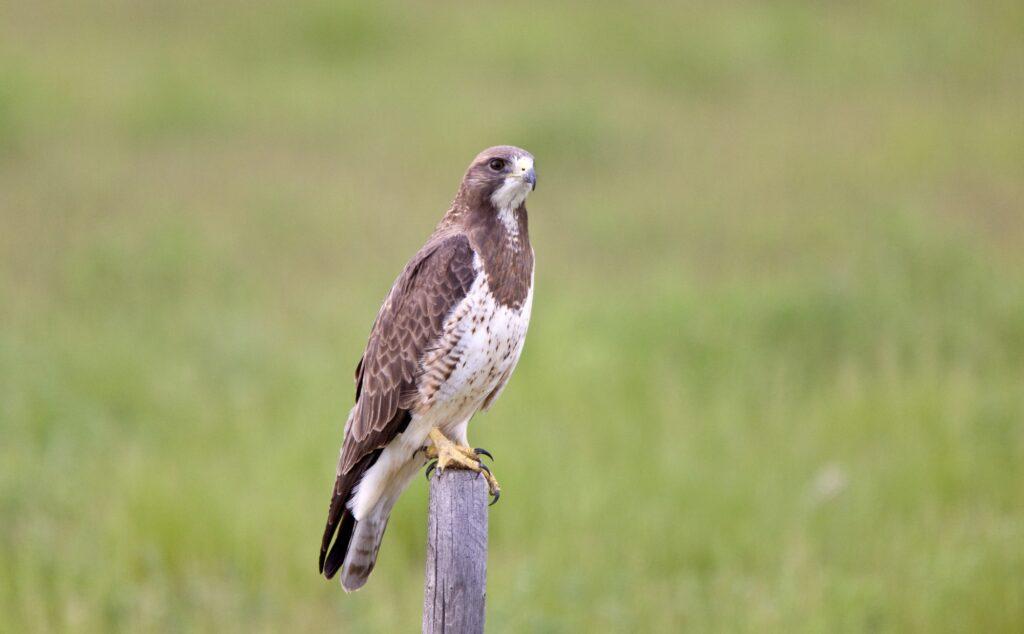 Hawks In Hawaii