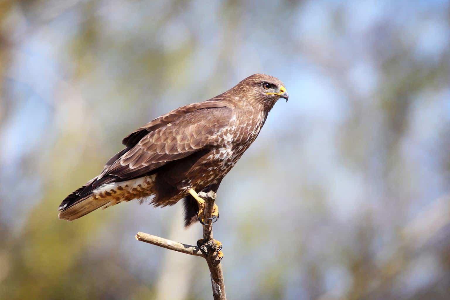 Hawks In Idaho