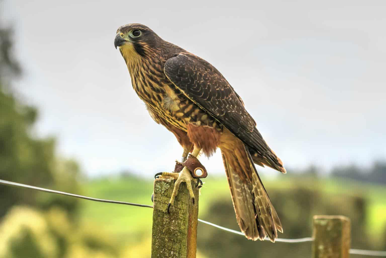 Hawks In Iowa