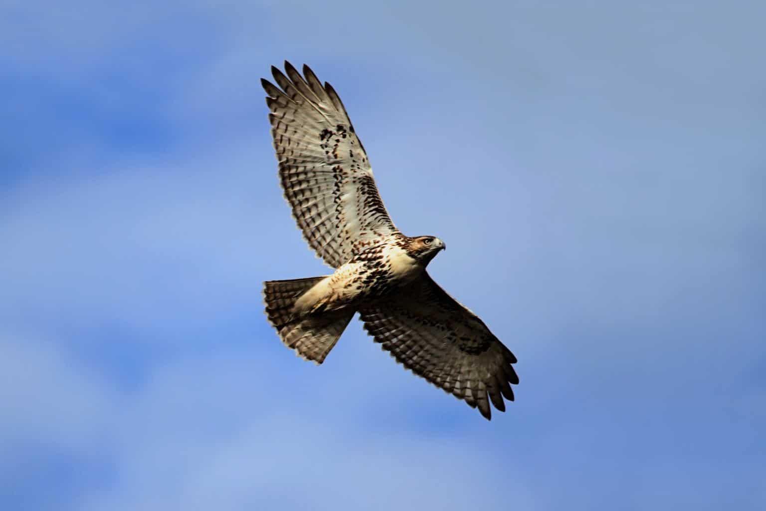 Short-Tailed Hawk