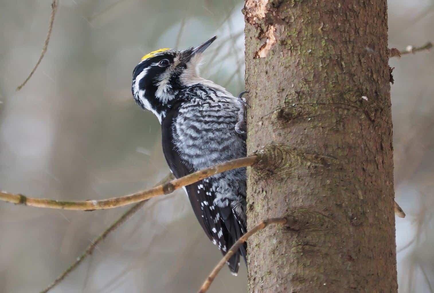 Woodpeckers In Alaska