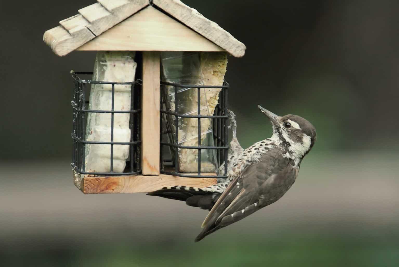 Woodpeckers In Arizona