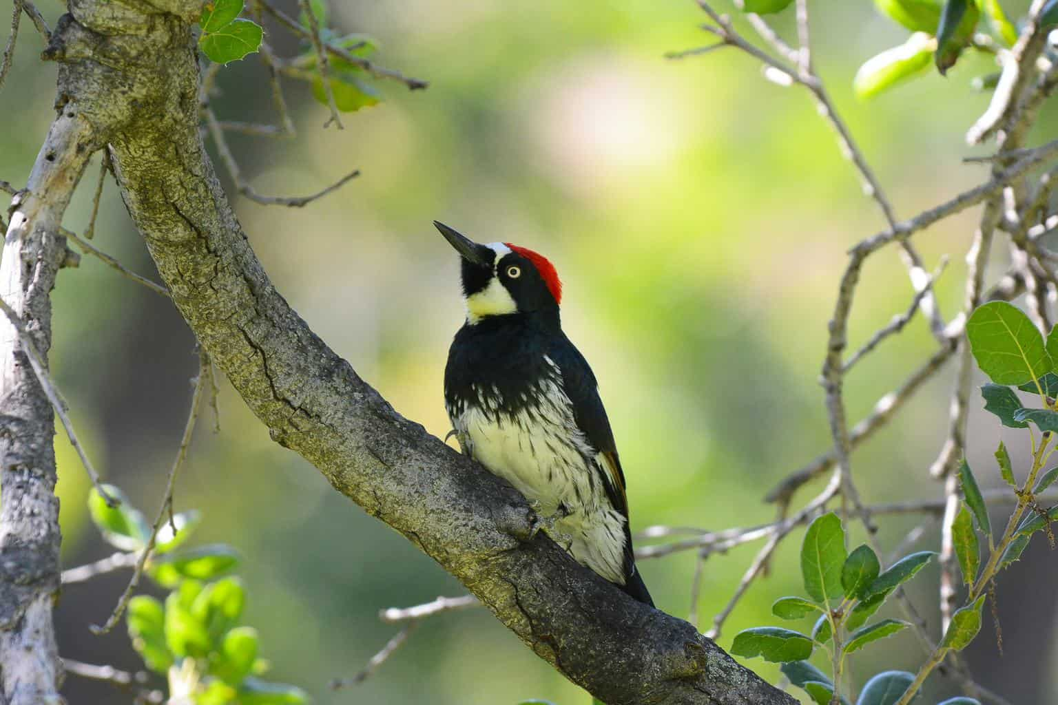 Woodpeckers In California