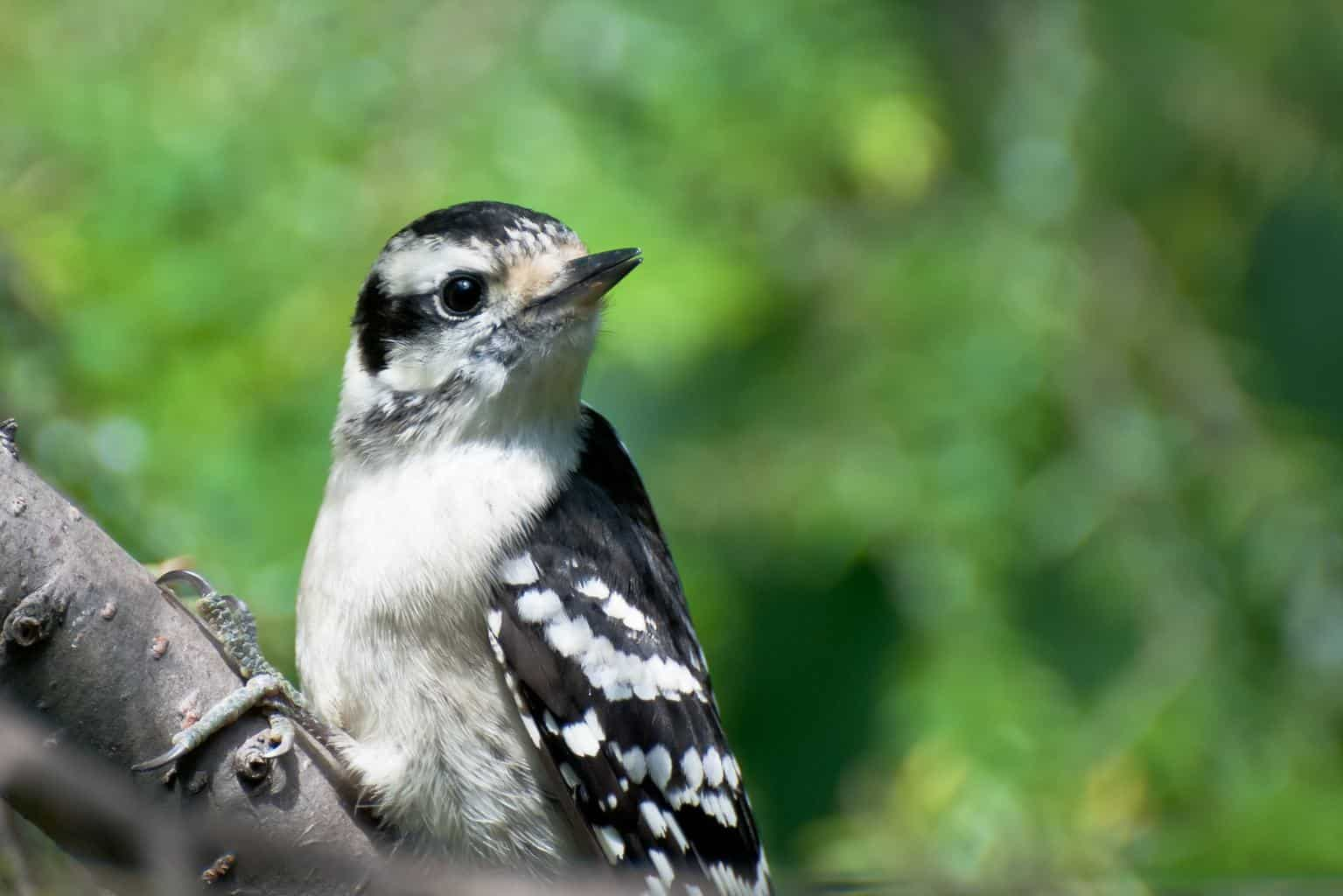 Woodpeckers In Montana