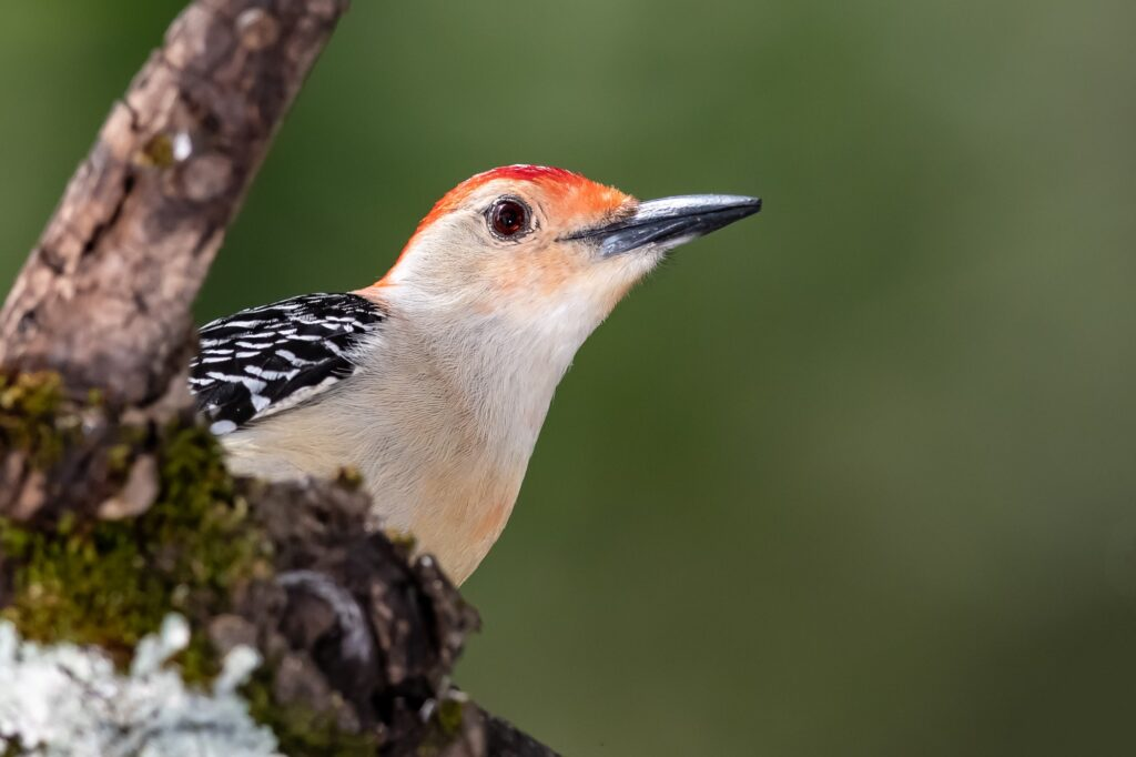 Woodpeckers In Nebraska