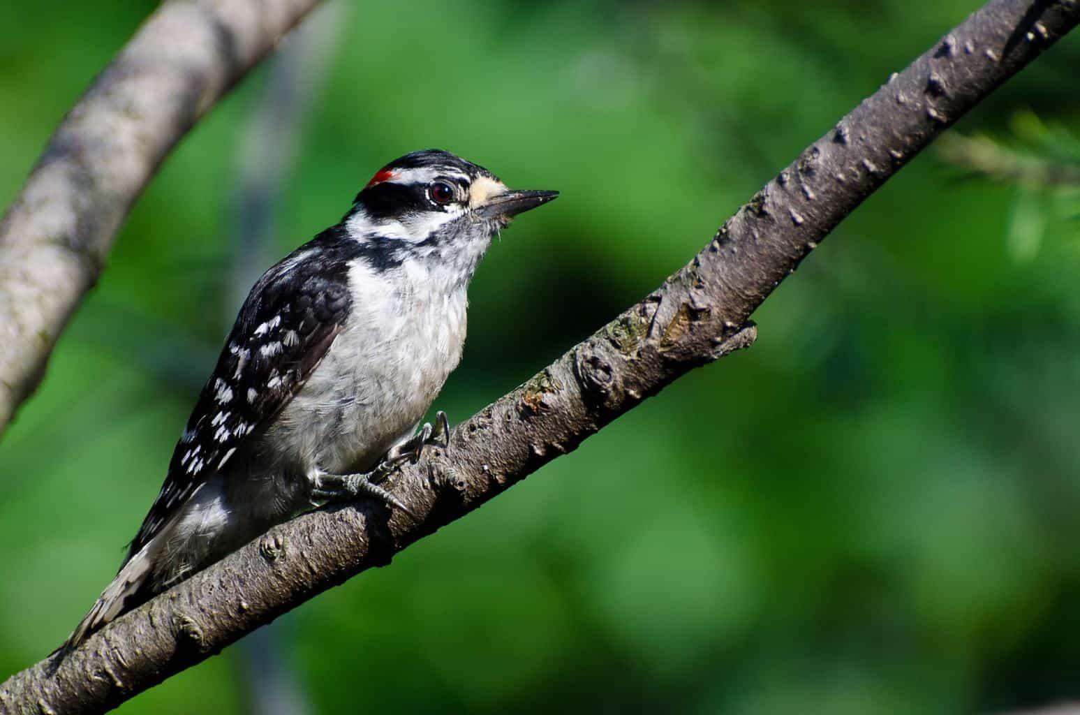 Woodpeckers In Utah