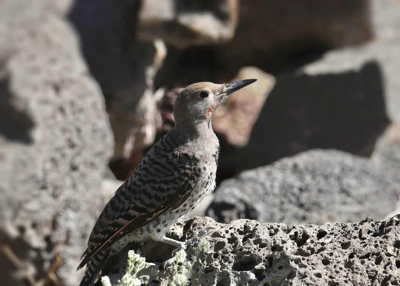 Woodpeckers In Washington