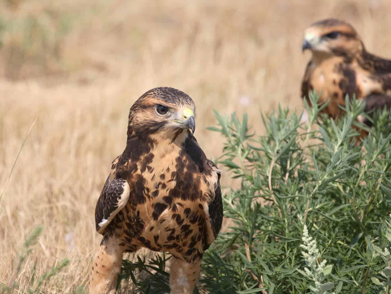 Hawks In Louisiana