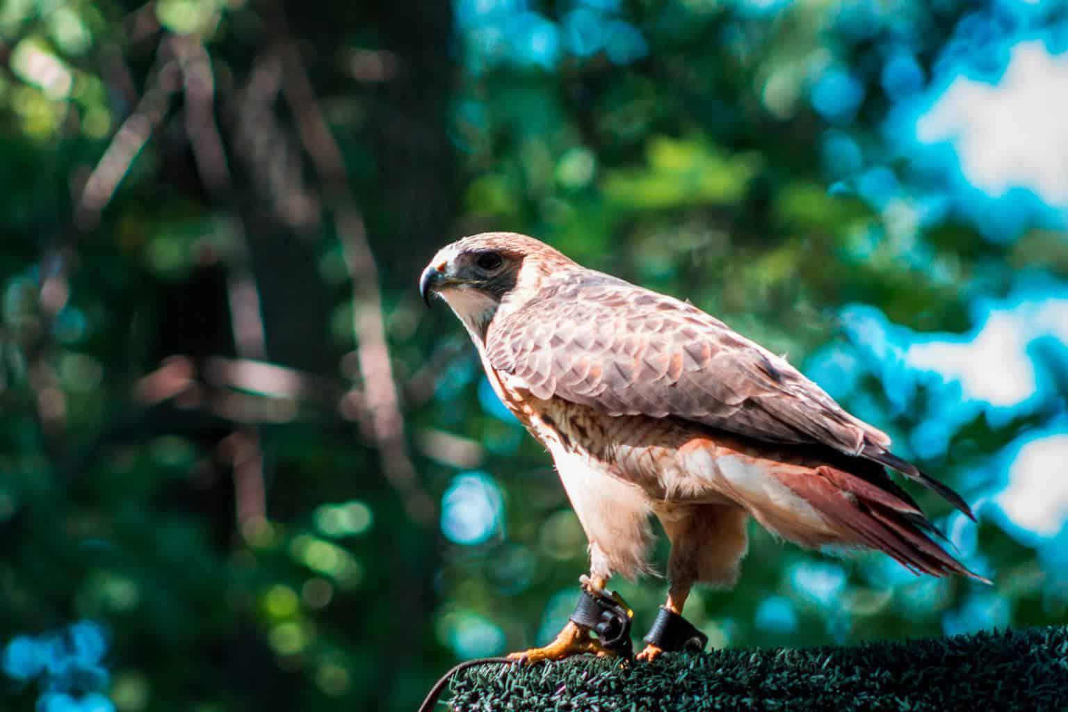 Hawks In Maine
