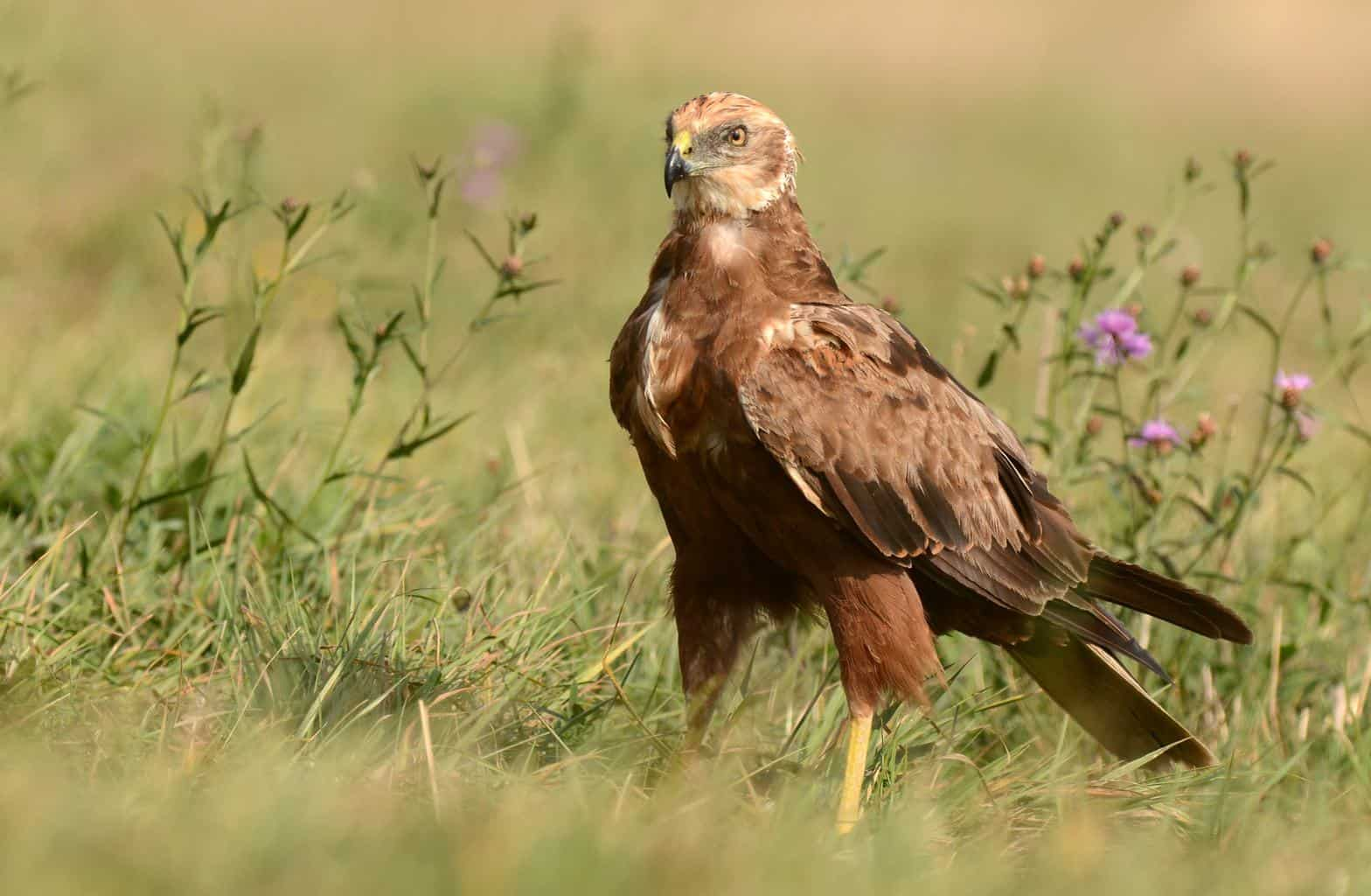 Hawks In Massachusetts