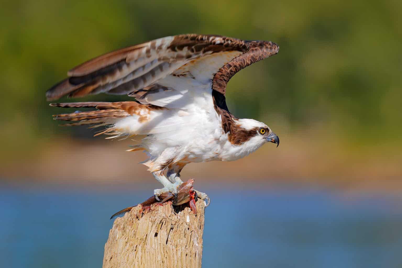 Hawks In Michigan
