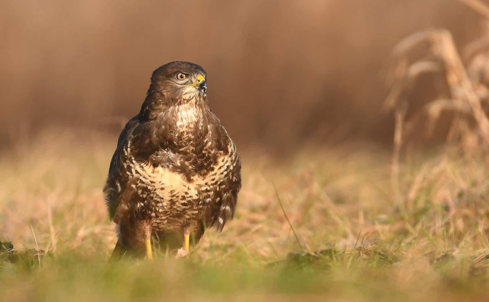 Hawks In Missouri