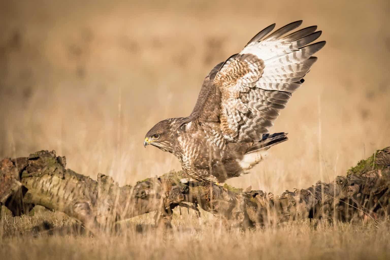 Hawks In Montana