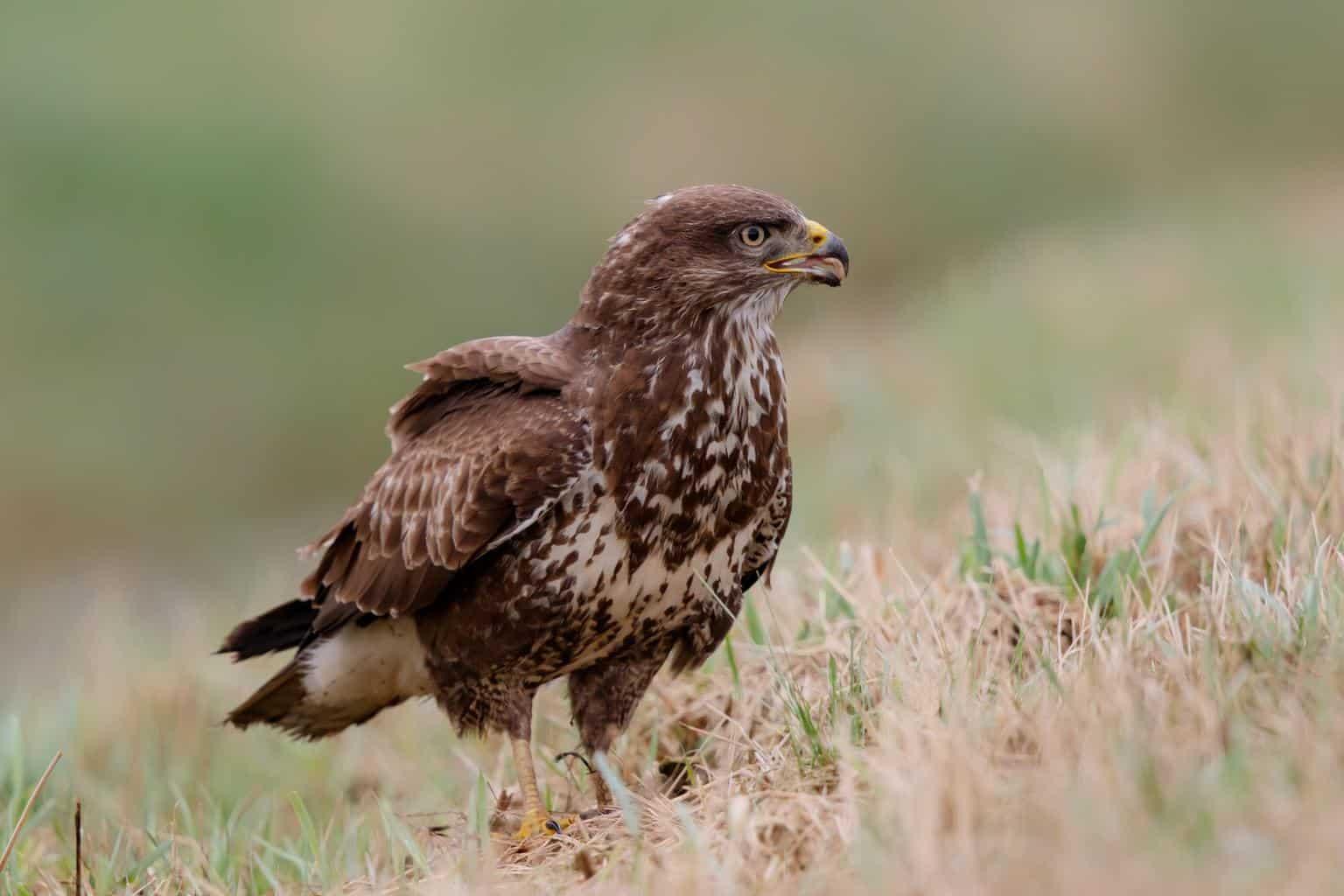 Hawks In Nebraska