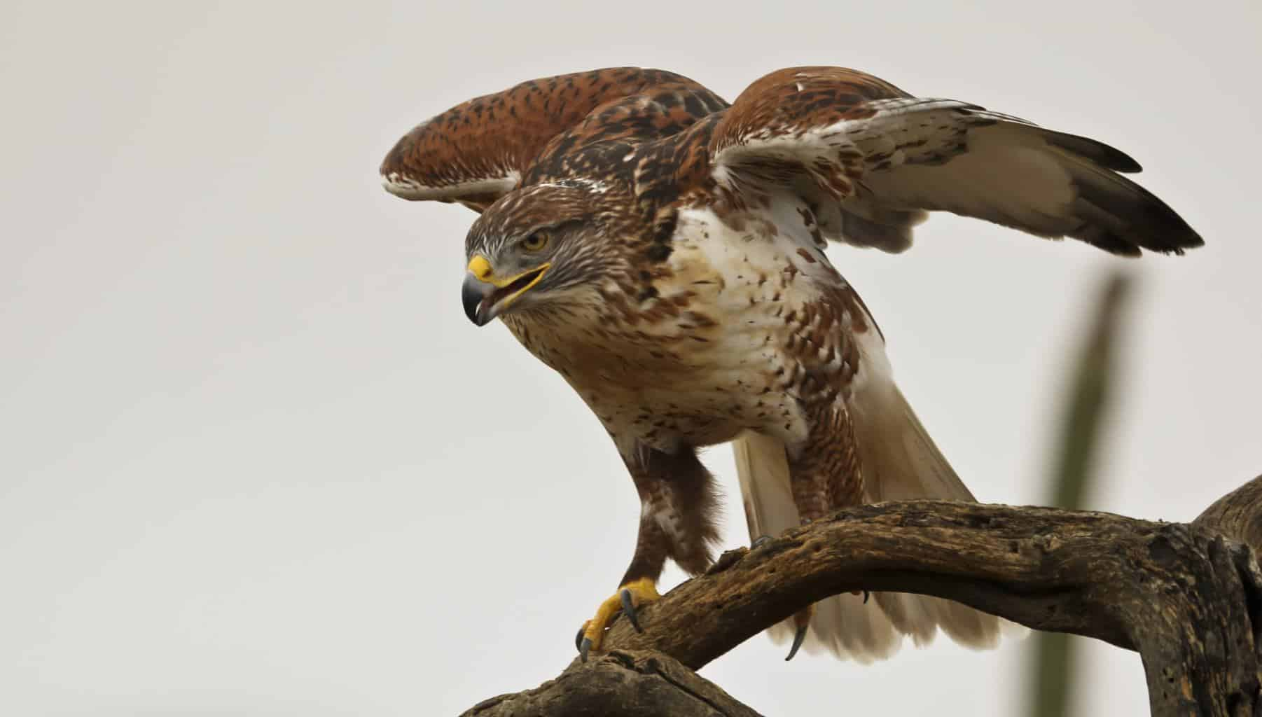 Hawks In Nevada