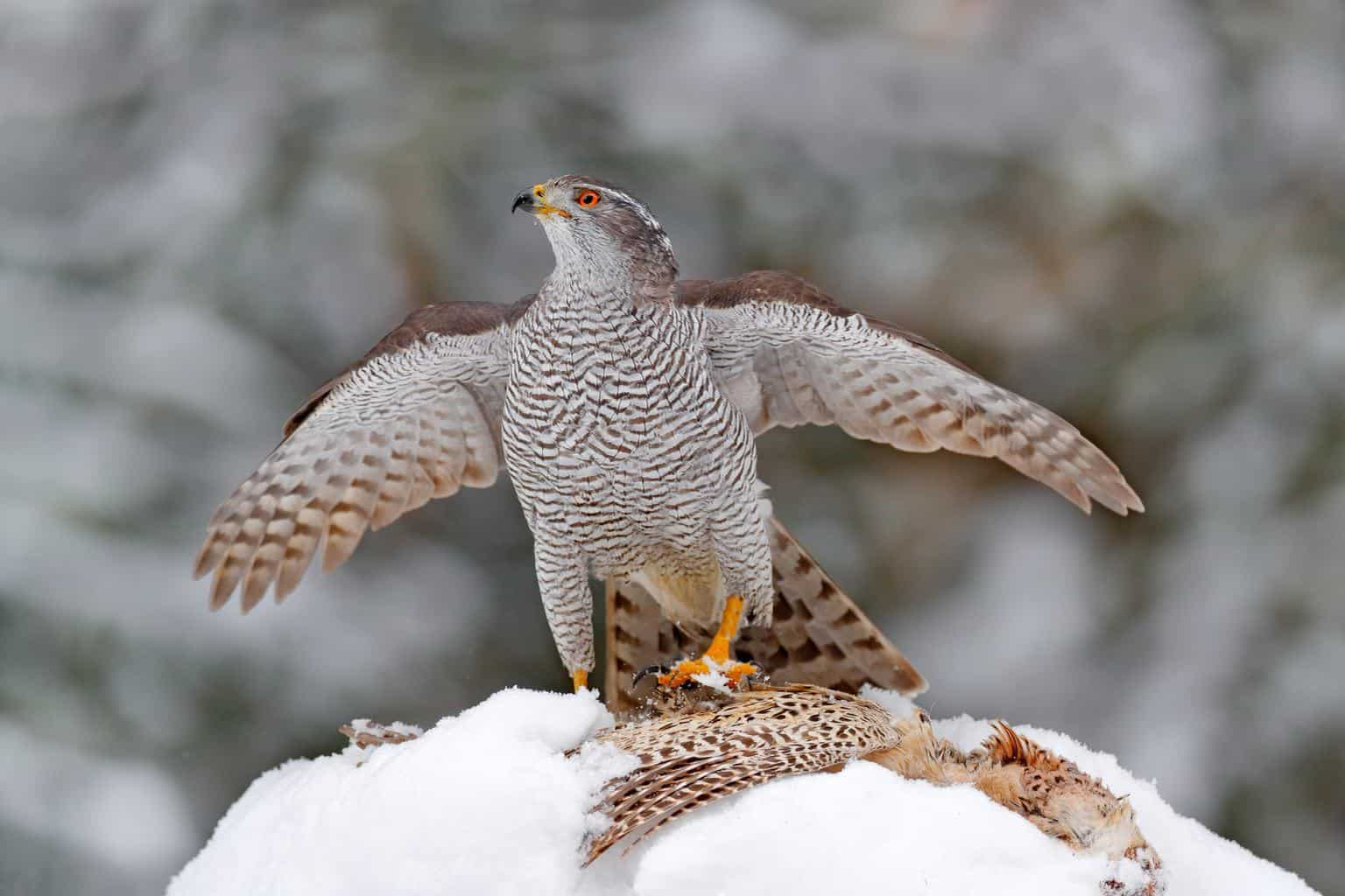 Hawks In New York
