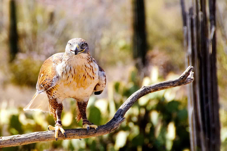 Hawks In North Carolina