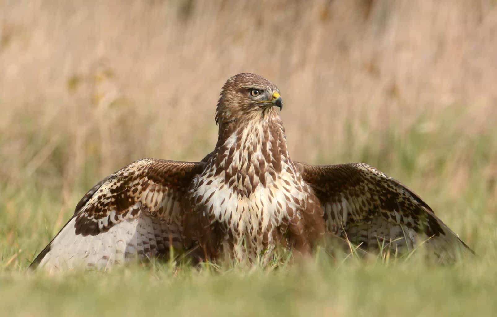 Hawks In Oklahoma