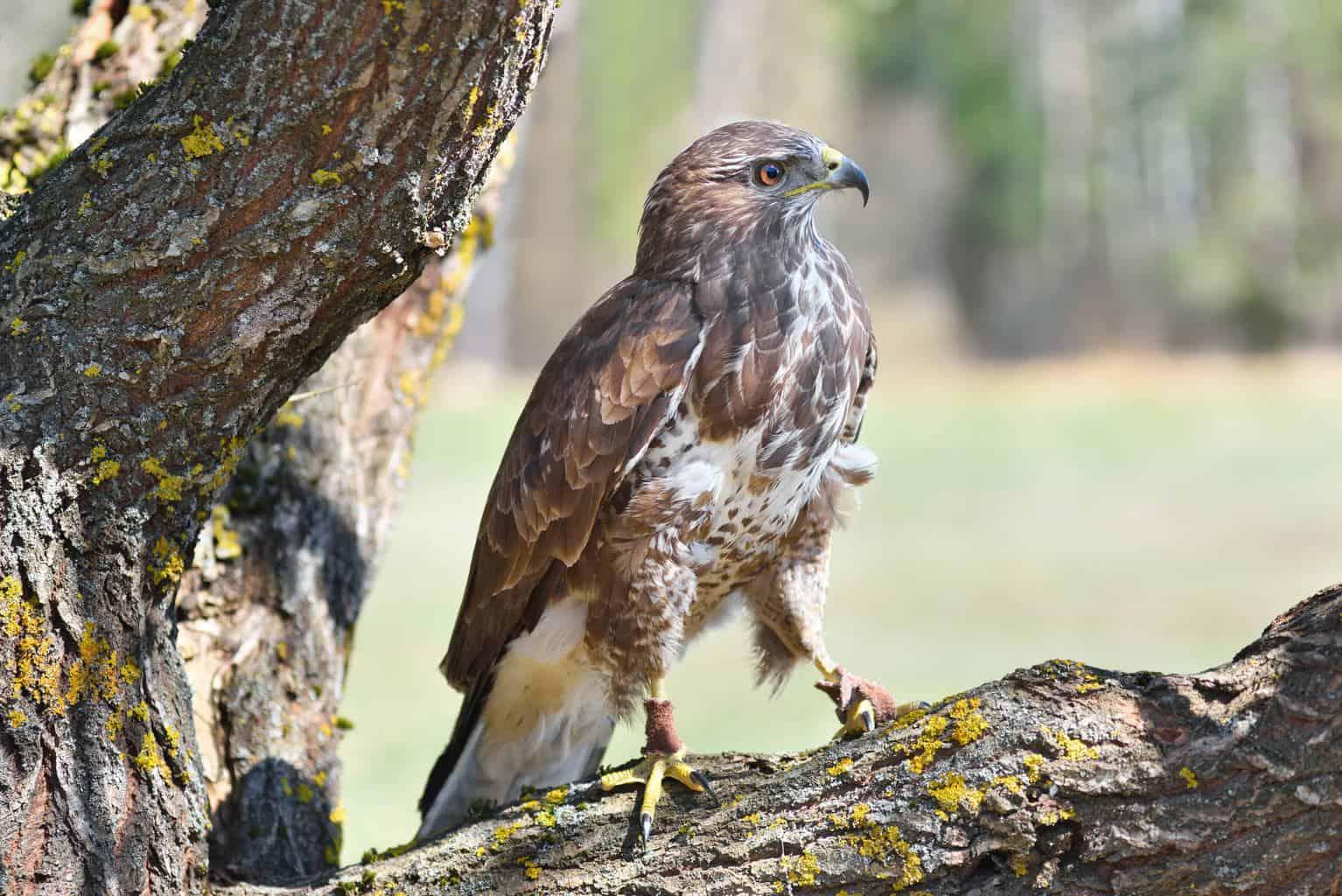 Hawks In South Carolina