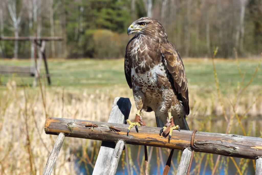 Hawks In South Dakota