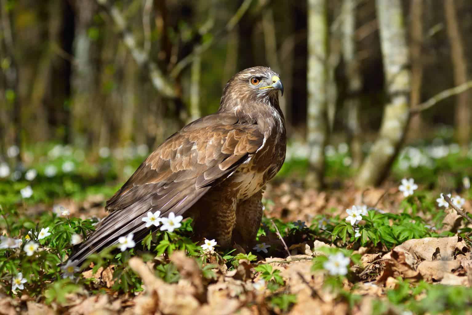 Hawks In Utah