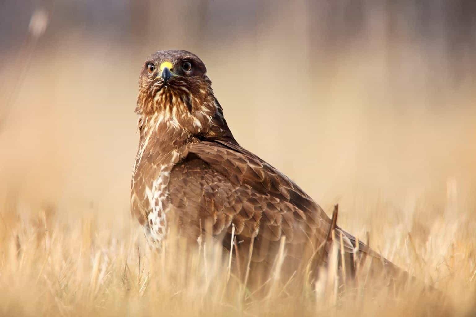 Hawks In Vermont