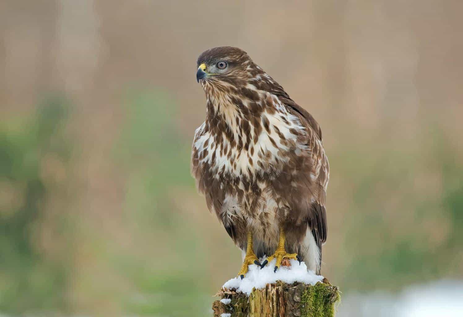 Hawks In Virginia