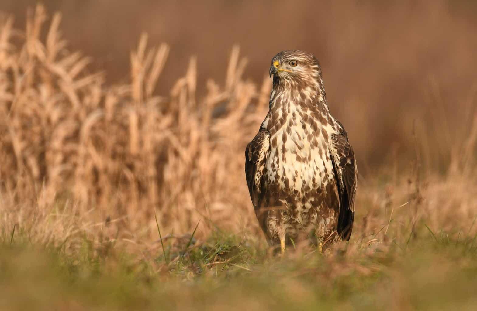 Hawks in Illinois