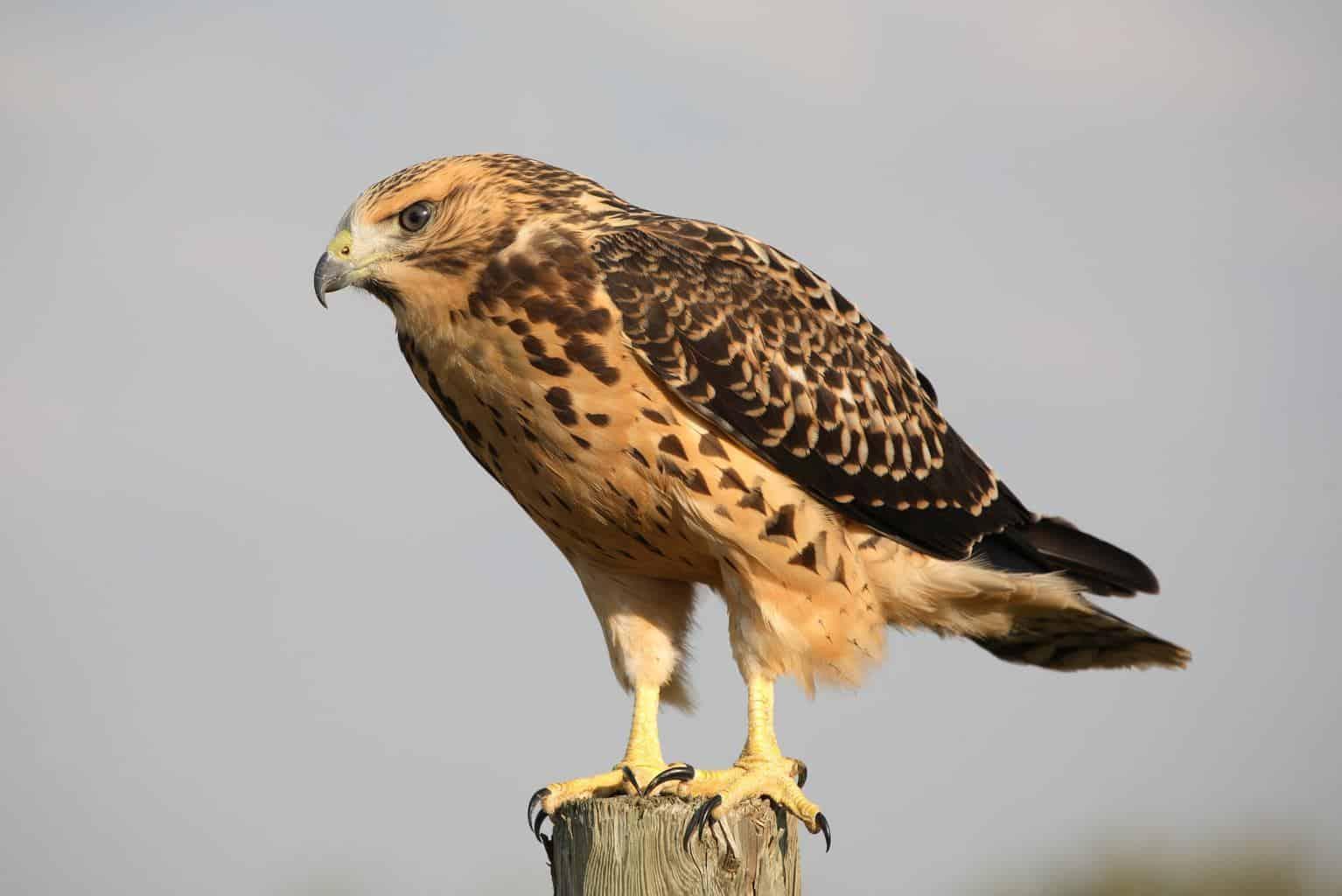 Hawks in Maryland