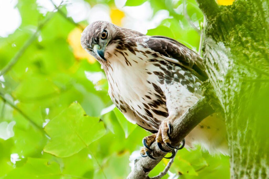 Hawks in Pennsylvania