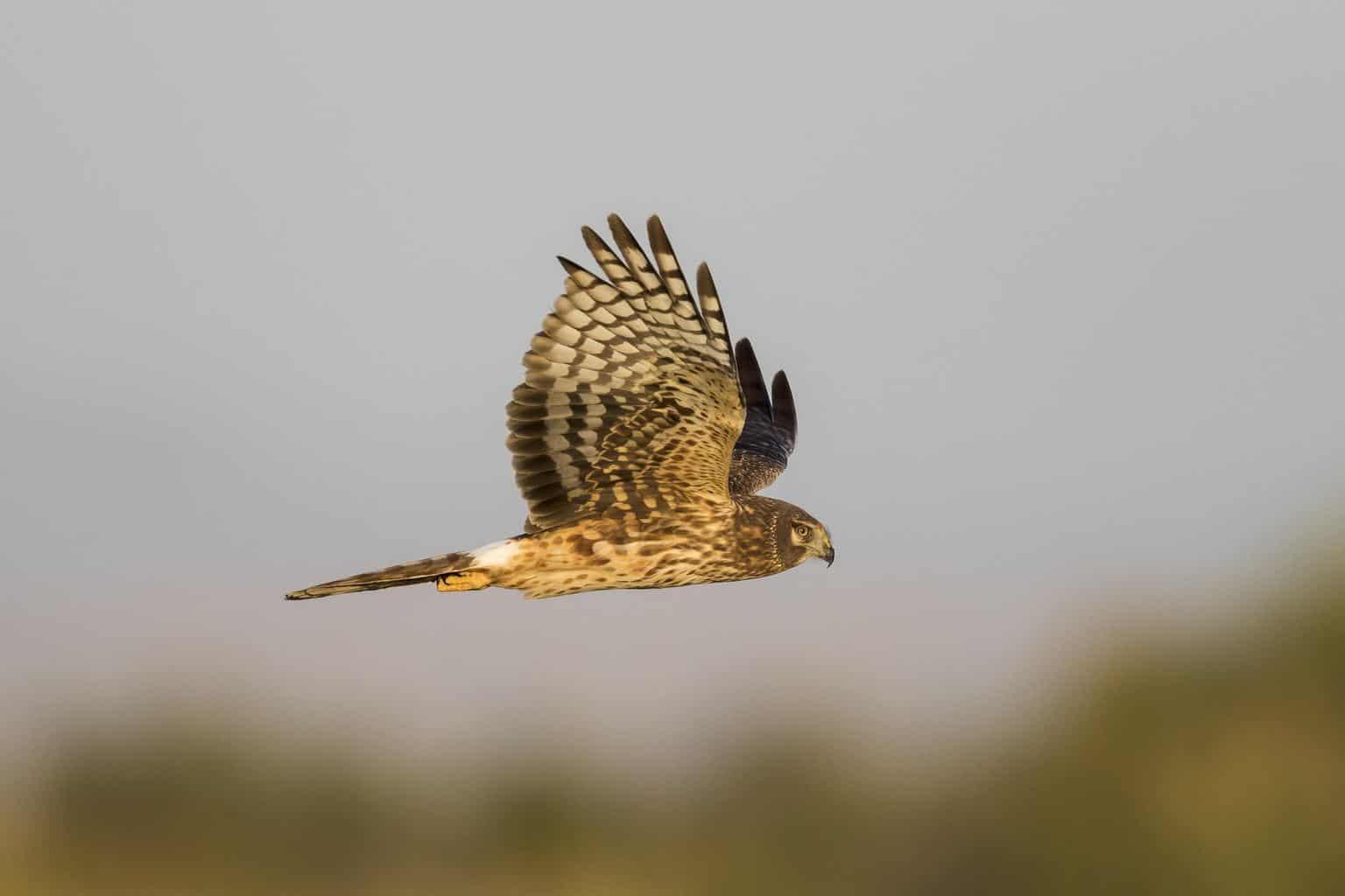 Northern Harrier