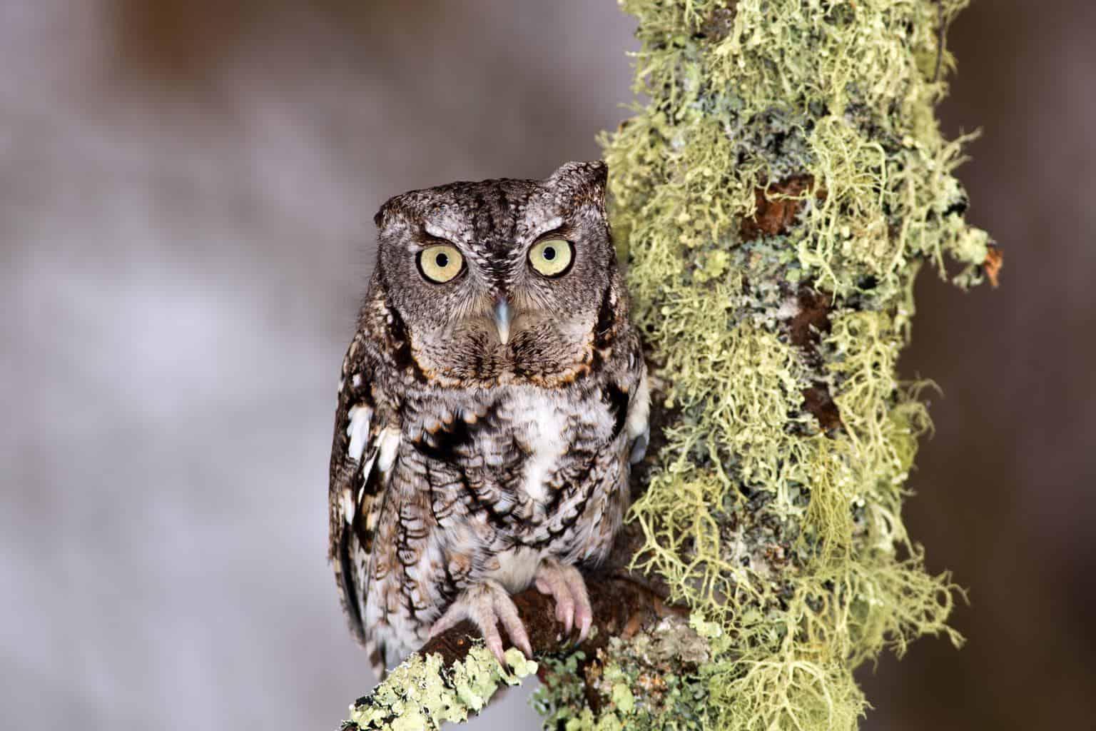 Owls In Alabama