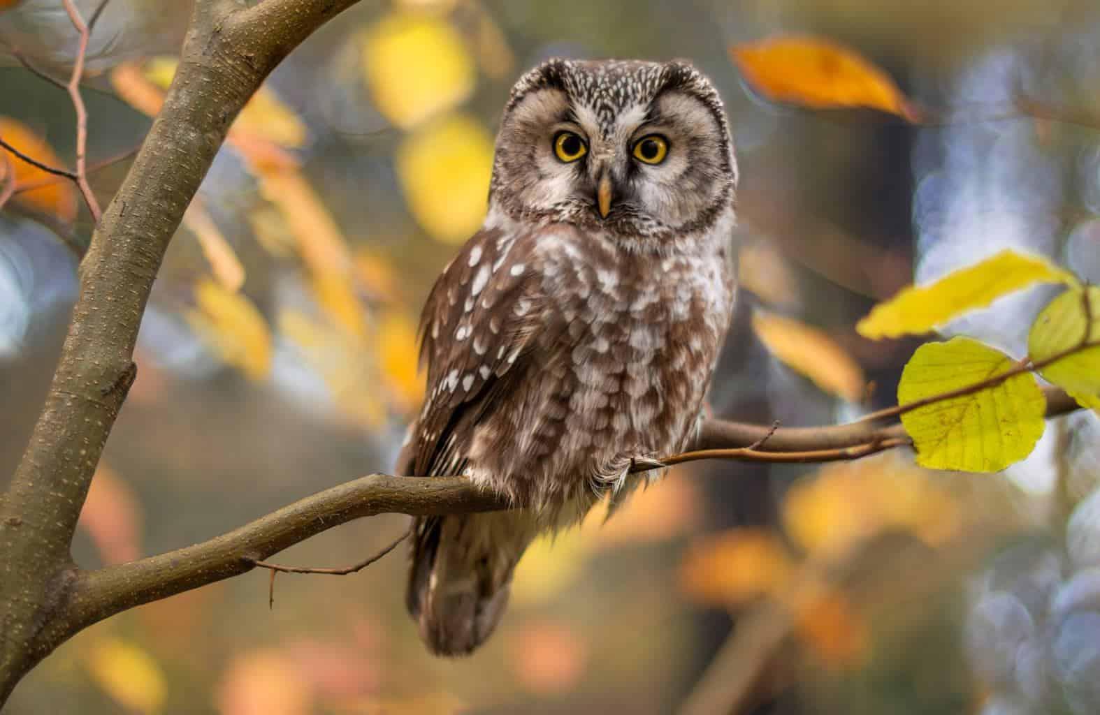 Owls In Alaska