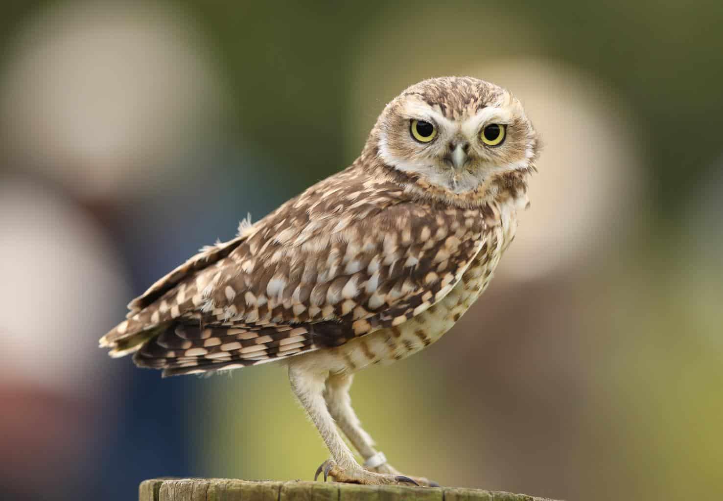 Owls In Arizona