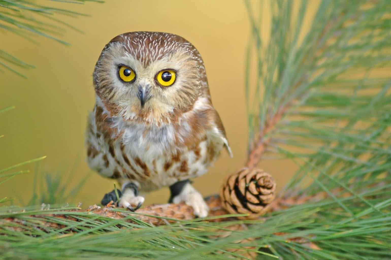 Owls In Arkansas