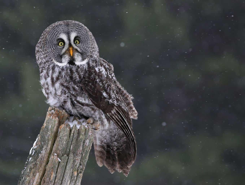 Owls In California