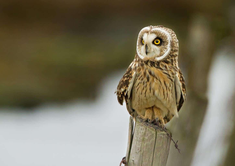 Hawaiian Short-eared Owl