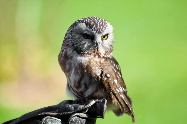Owls In Delaware