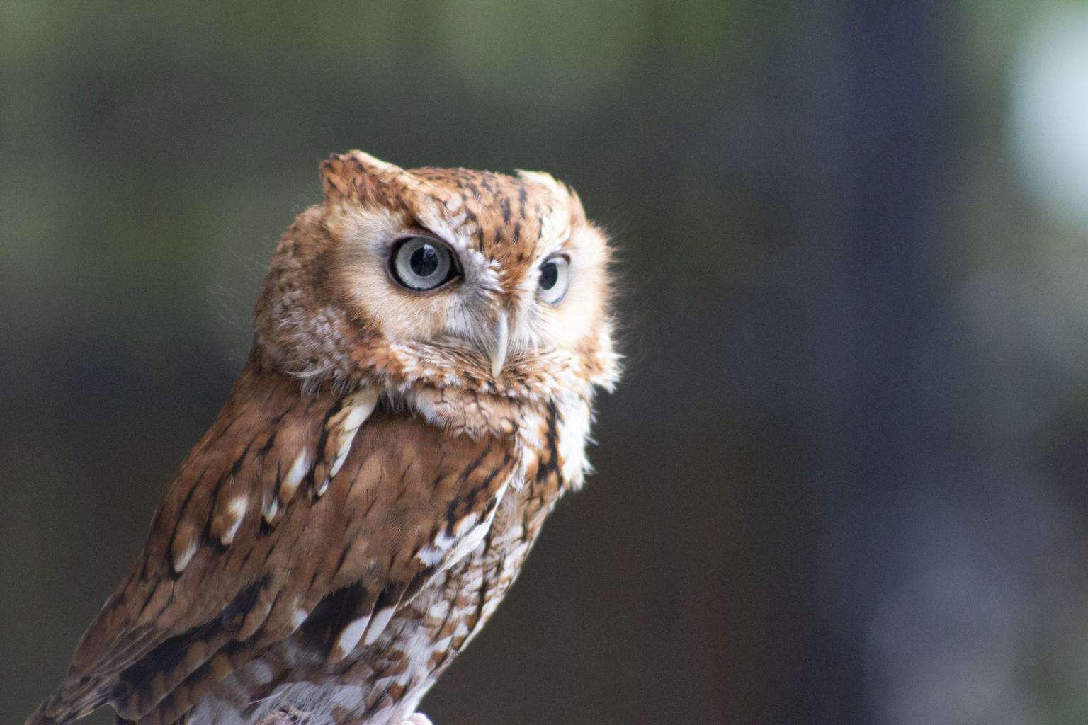 Owls In Georgia