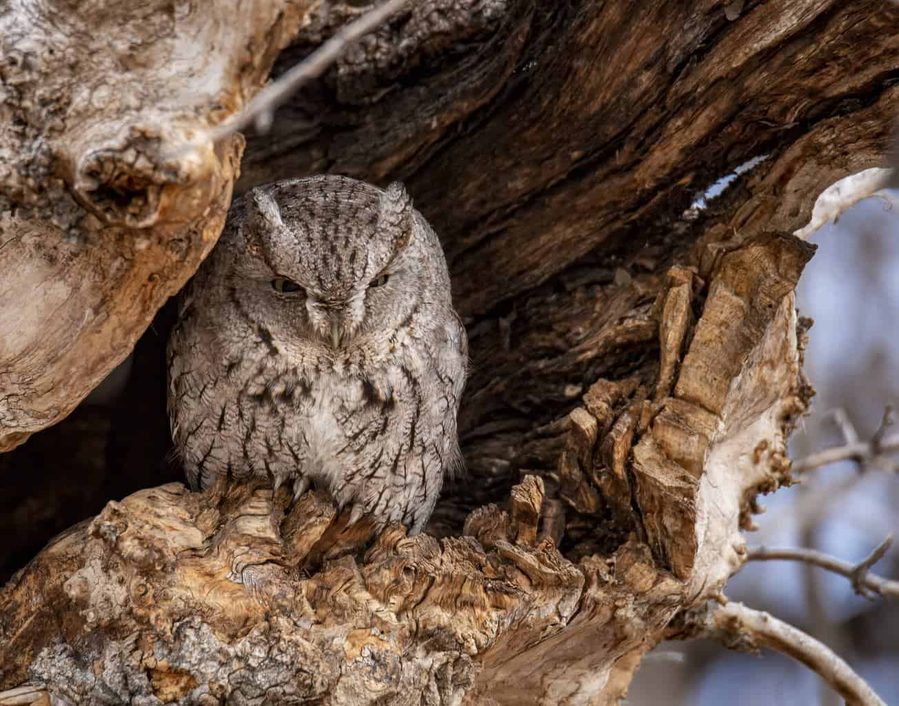 Eastern-Screech Owl