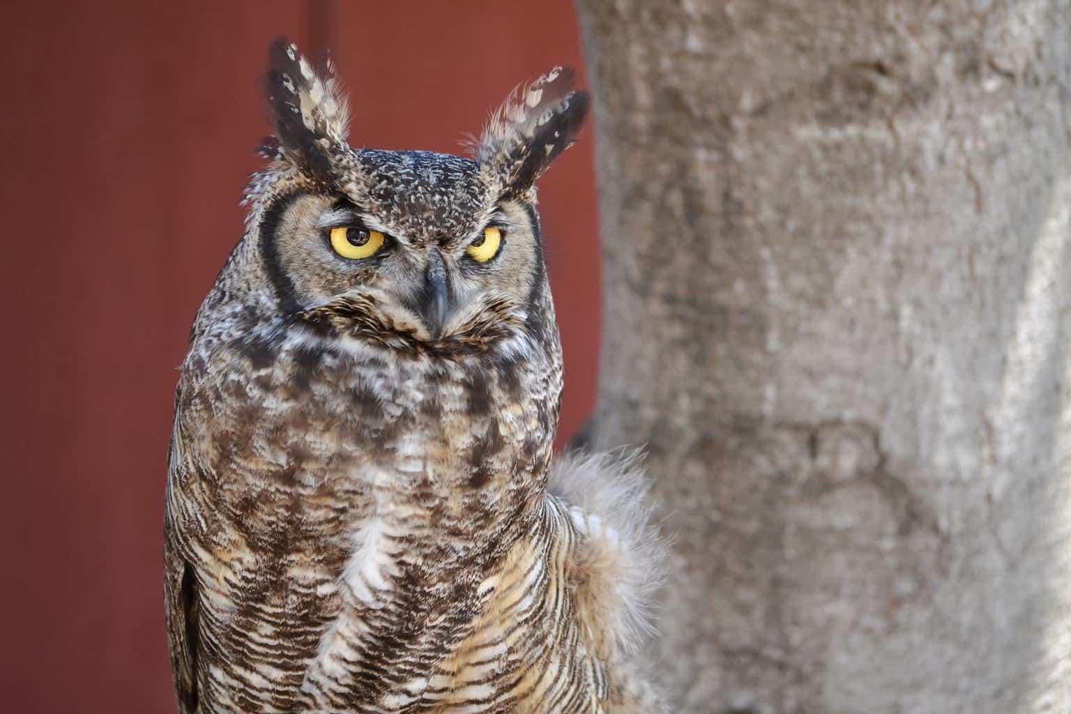 Owls In Oklahoma